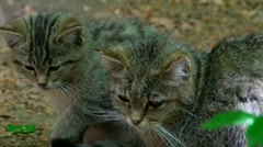 Young wild cats in germany Stock Footage