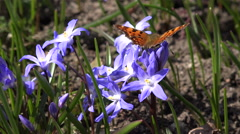 Siberian squill flower with butterfly in natural background. 4K Stock Footage