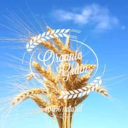 Wheat ears spikes design background Stock Illustration
