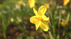 Beautiful narcissus close up Stock Footage