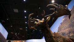 Megaloceros reconstitution in a museum Stock Footage