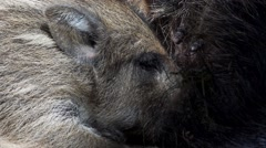 Boar piglet in a german forest Stock Footage