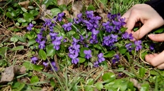 Viola odorata in the grass - stock footage