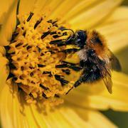 Bee pollinating yellow flower close-up macro - stock photo