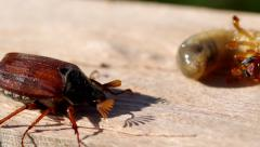 Cockchafer and Larva of cockchafer - stock footage