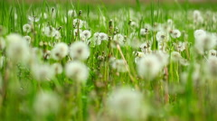 Glade of dandelions in the green grass Stock Footage