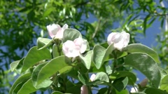 Apple quince blossom 05 Stock Footage