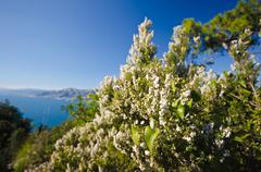 flowered heather on the coastline - stock photo