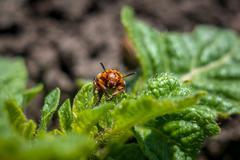 Colorado potato beetle on leaf potato. Stock Photos