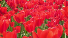 4K Tulips Blowing in the Wind. UHD stock video Stock Footage