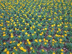 Dwarf French marigolds Stock Photos