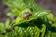 Colorado potato beetle on leaf potato. - stock photo