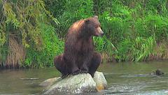 Dark Colored Alaskan Brown Bear Sits on Rock in River in the Rain Stock Footage