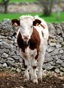 Stock Photo of calves cow in rearing livestock of farm apulia