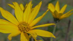 Jerusalem artichoke sunroot on wind 4K 2160p UHD video - Helianthus tuberosus Stock Footage
