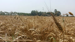 wheat field in village, nature background - stock footage