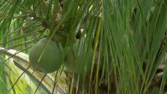 Tropical heavy rain storm on green palm trees with coconuts - closeup 4k - stock footage