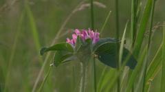 HD 1080p Stock - Purple/Pink wild flower in a meadow Stock Footage