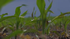 Hd Stock Footage - Young Corn in field Stock Footage