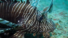Lionfish underwater close up Stock Footage
