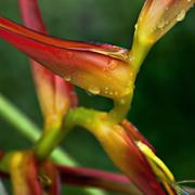 Stock Photo of Helicon Bentham beautiful colour tropical flower after rain
