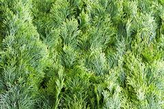 Arborvitae leaves background Stock Photos