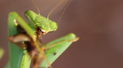 Prey Mantis Stock Footage