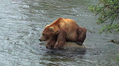 Sun Coming Out on Alaskan Brown Bear Hunched Over Rock in River Stock Footage