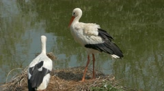 Pair of white storks (Ciconia ciconia) clattering the beak.. Stock Footage