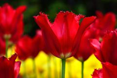 Beautiful red terry tulips - stock photo