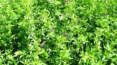 Flowering Medicago sativa (4K) Stock Footage