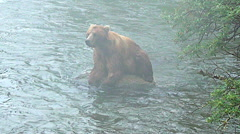 Wider View of Alaskan Brown Bear on Rock In River in Fog - Yawning Stock Footage