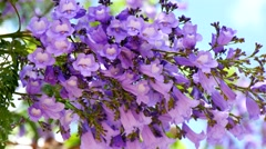 Flowering Jacaranda Tree (4K) Stock Footage