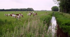 Red and white cattle in the meadow along a stream, 4K - stock footage