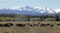 Cattle in Alberta Stock Footage