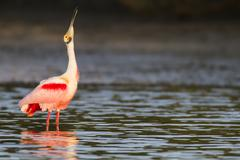 Roseate Spoonbill in shallows Stock Photos