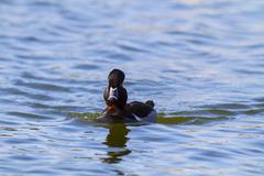 Ring-necked Duck (Aythya collaris) - stock photo