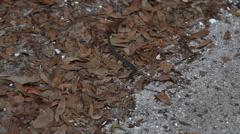 Pygmy Rattlesnake Stock Footage