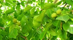 Unripe nuts on the tree (4K) Stock Footage