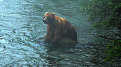 Alaskan Brown Bear on Rock In River in Fog - Yawning - stock footage