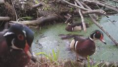 Wood Ducks (Aix sponsa) on a beaver pond in a Georgia swamp. Stock Footage