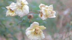 White Roses Blowing in the Wind Stock Footage