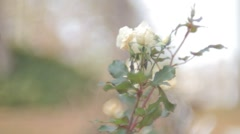 White Rose Filmed with Vintage Lens Stock Footage