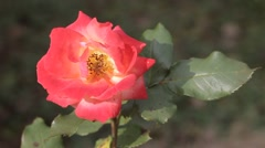 Pinkish Red Rose, close up of rose Stock Footage