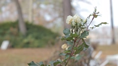 Small White Roses Blowing in the Wind Stock Footage