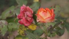 La vie en rose Stock Footage