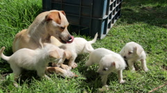 Dog's puppies playing and interacting with their Chihuahua mom. Stock Footage