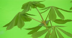 Green leaves large chestnut trees on chromakey, on a green background stagger Stock Footage