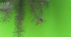 Fir-Tree branches Green branch to chroma key  moving  the wind bushes sunny day Stock Footage