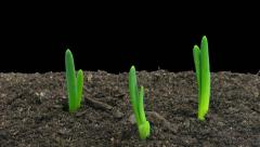 Time-lapse of germinating onions in RGB + ALPHA matte format - stock footage